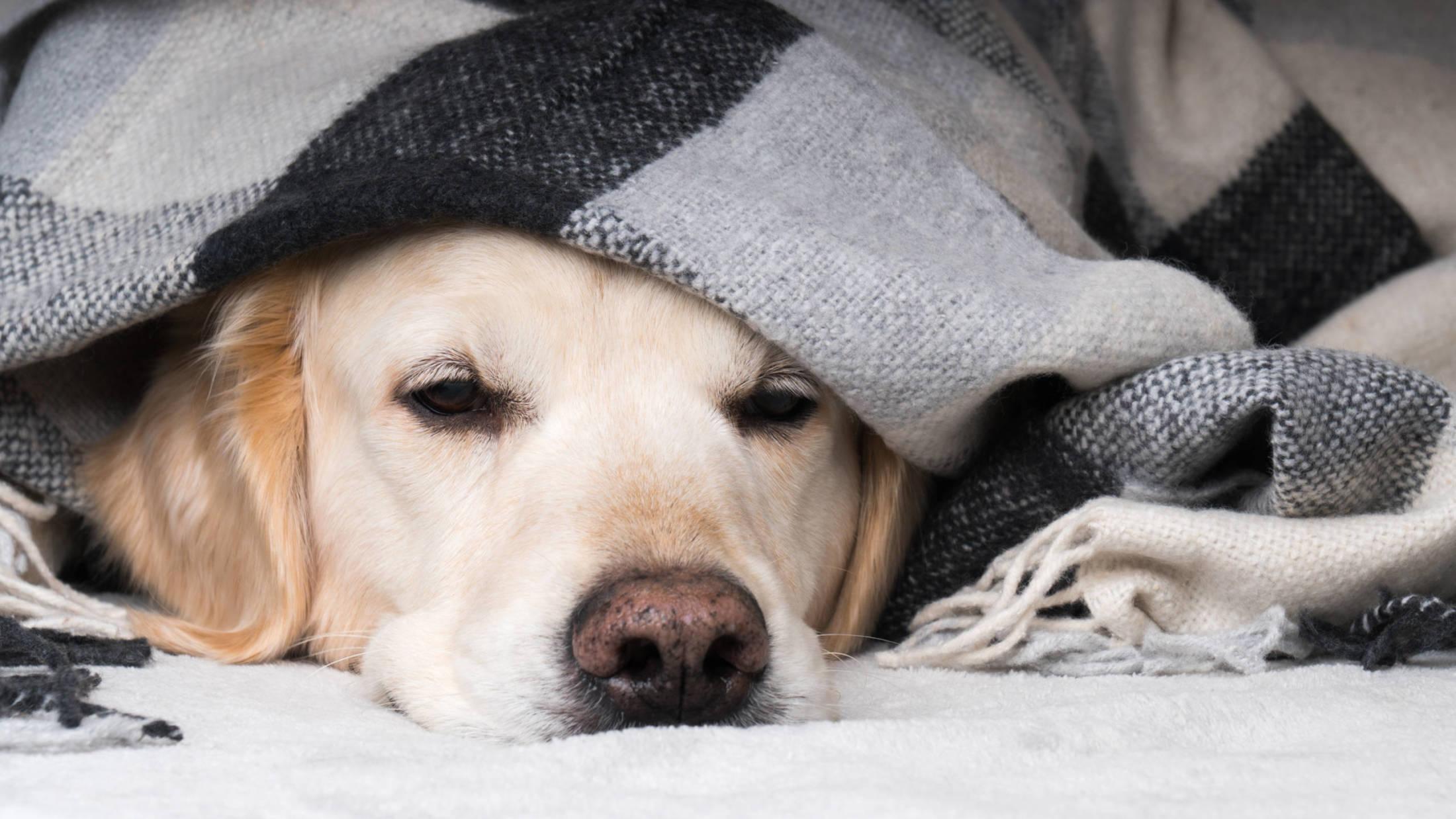 Padaczka u psa. Olejek CBD pozwala zmniejszyć częstotliwość ataków u zwierząt