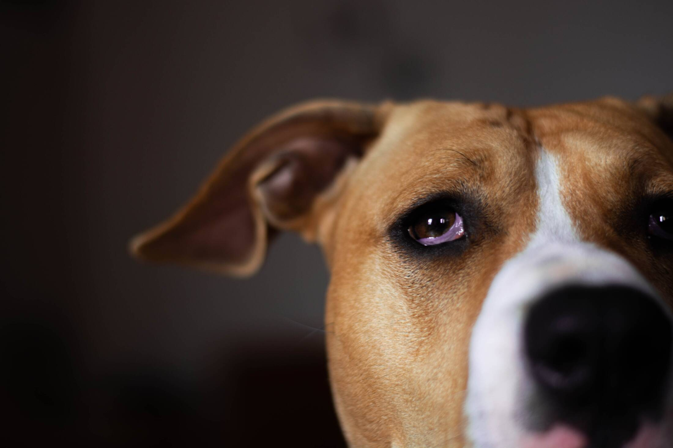 """""""Mój pies boi się fajerwerków"""". Olej CBD może wesprzeć zwierzęta w sylwestra"""