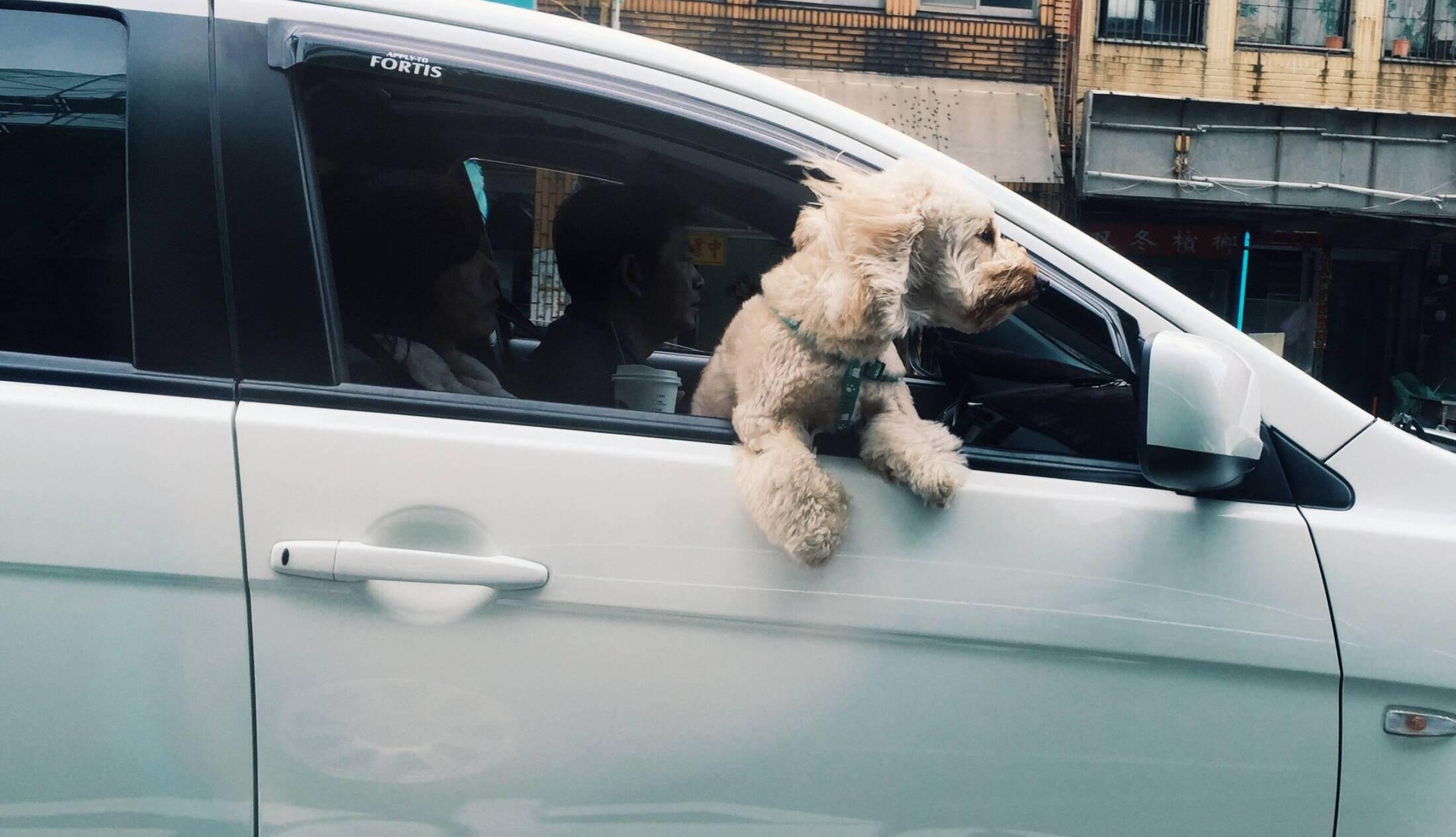 Olej CBD na nudności u psa. Spraw, by Twój zwierzak pokochał jazdę autem