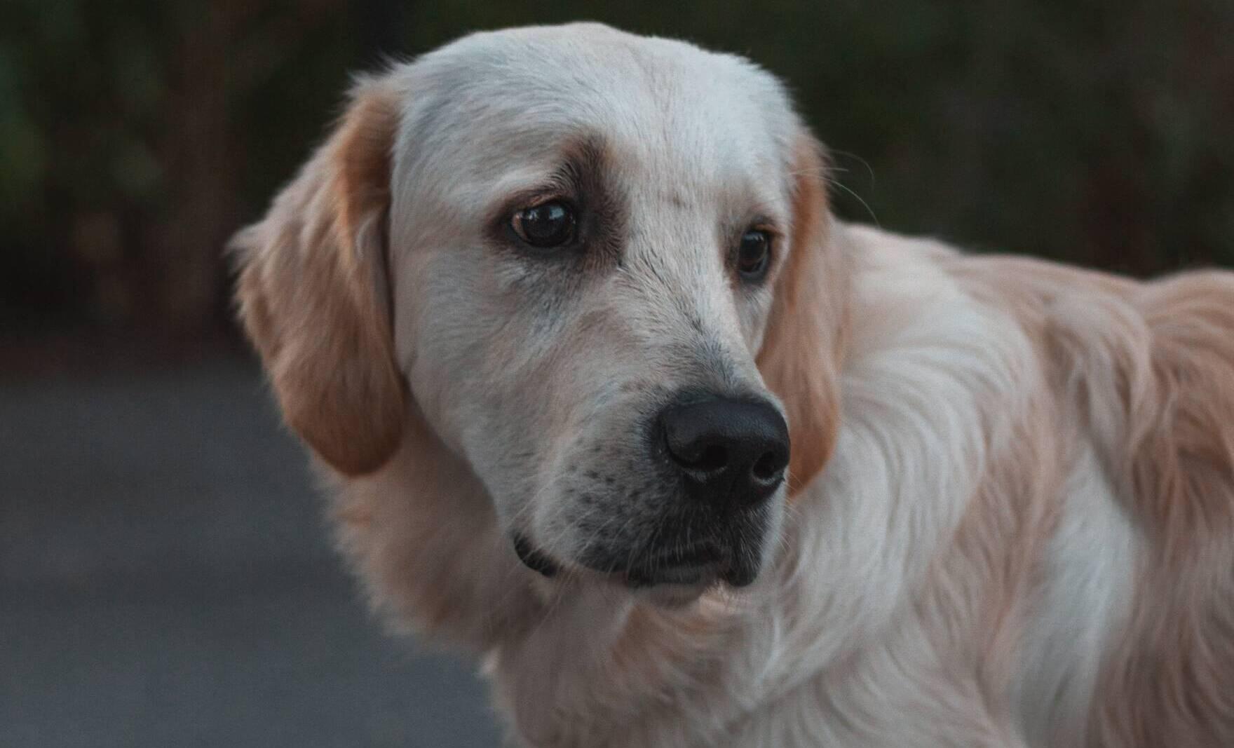 CBD dla psa z chłoniakiem. Odkryj lecznicze właściwości oleju z konopi